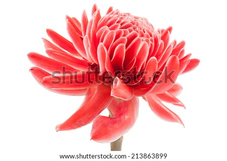 closeup pink torch ginger flower etlingera elatior on white background, file includes a excellent clipping path - stock photo