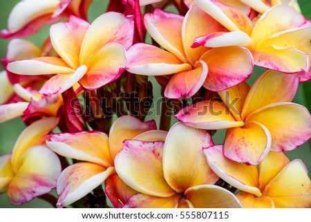 pink lotus colorful petal background green stock photo, Natural flower