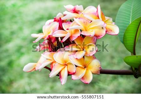 pink yellow plumeria on plumeria tree stock photo, Natural flower
