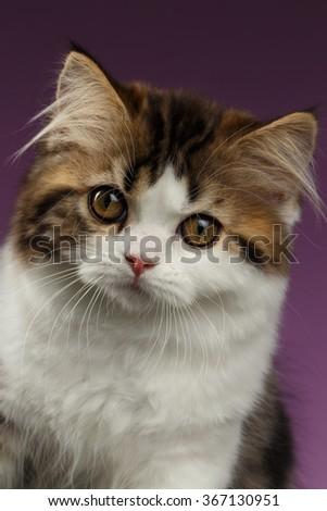 Closeup Portrait Angry Scottish straight Kitten on Purple Background - stock photo