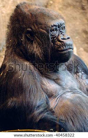 Closeup portrait of a beautiful female American lowland gorilla - stock photo