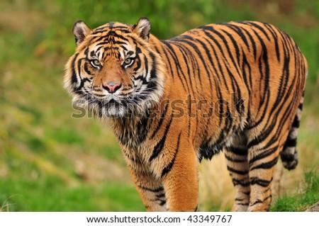 Closeup portrait of a beautiful Sumatran tiger looking at the camera - stock photo