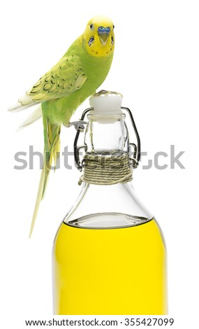 Closeup portrait of a budgerigar on olive oil bottle isolated on white background. - stock photo