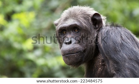 closeup portrait of a chimpanzee with bright eyes - stock photo