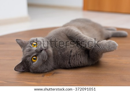 Closeup portrait of a concerned British cat lying on the floor