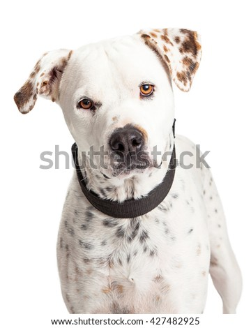 Closeup portrait of a Dalmatian mixed breed dog looking into camera. Isolated on white.