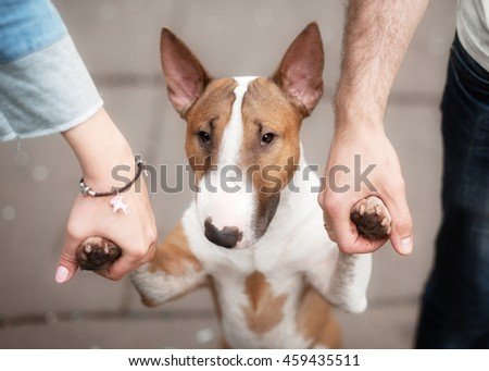 Closeup portrait of a dog breed bull and female hands