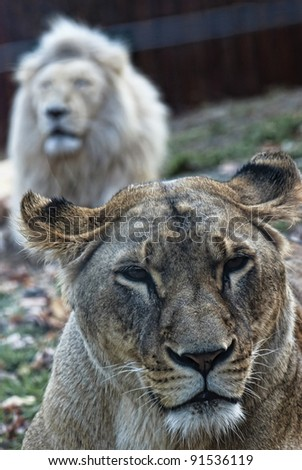 Closeup portrait of a female lion, behind the male - stock photo