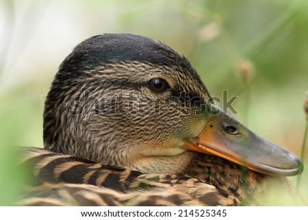 closeup portrait of a female mallard duck ( anas platyrhynchos ) - stock photo