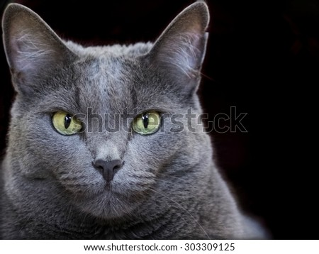 Closeup portrait of a female Russian Blue cat with copy space right - stock photo