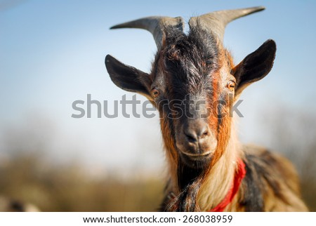 Closeup portrait of a goat, outside in a courtyard