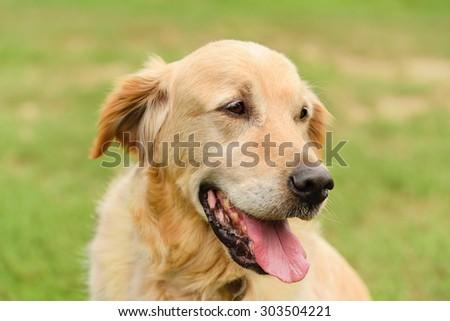 Closeup portrait of a golden retriever dog in the park - stock photo