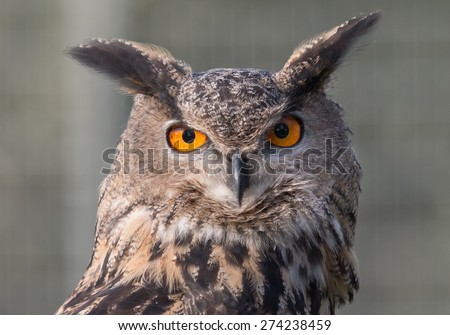 Closeup portrait of a Great Eagle Owl, an endangered predator of the German Black Forest - stock photo