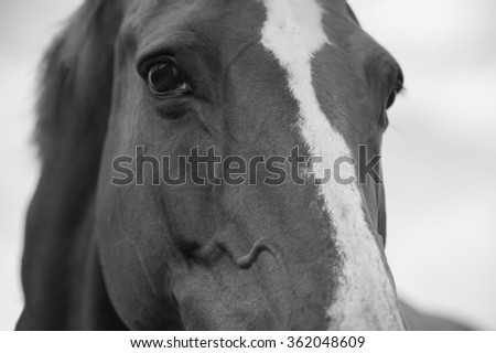 Closeup portrait of a horse in black and white color
