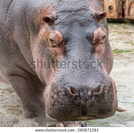 Closeup portrait of a huge hippopotamus looking into the camera - stock photo