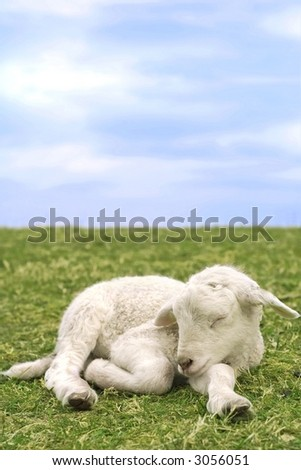 Closeup portrait of a little newborn sheep - stock photo