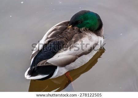Closeup portrait of a Mallard duck - stock photo