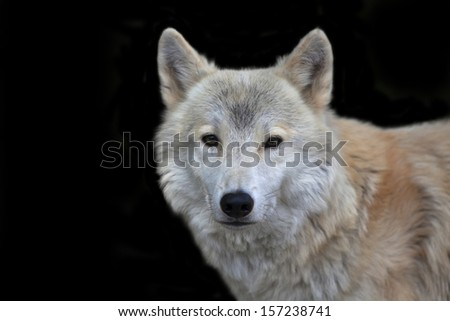Closeup portrait of a polar wolf male on black background. Eye to eye contact with the very dangerous beast of the severe North. Beauty of the wildlife.  - stock photo