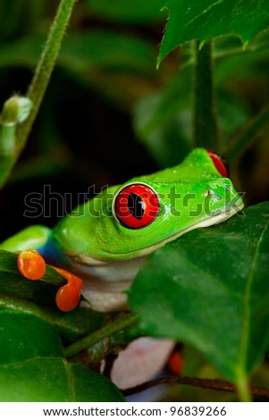 Closeup portrait of a red eyed tree frog sitting in the leaves. - stock photo