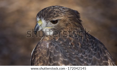closeup portrait of a red tail hawk - stock photo