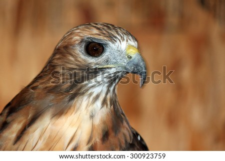 Closeup Portrait of a Red-tailed Hawk