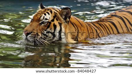 Closeup portrait of a swimming Malayan tiger - stock photo