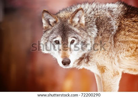 Closeup portrait of a wild wolf - stock photo