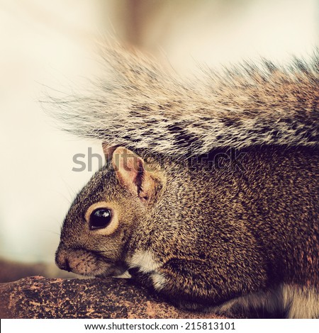 Closeup portrait of a young grey squirrel on a tree branch with instagram-type filter effect added for vintage, retro look. - stock photo