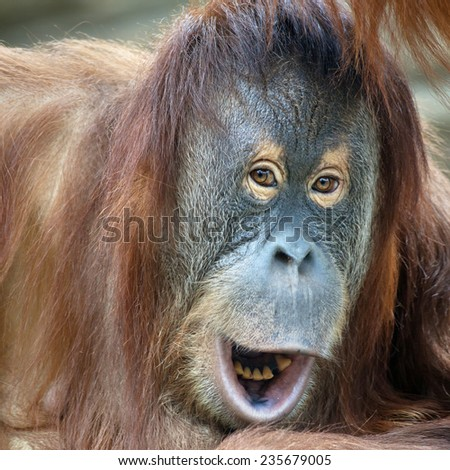 Closeup portrait of a young orangutan female with open chaps. Wild beauty of a human-like monkey. Expressive face of a great ape. - stock photo