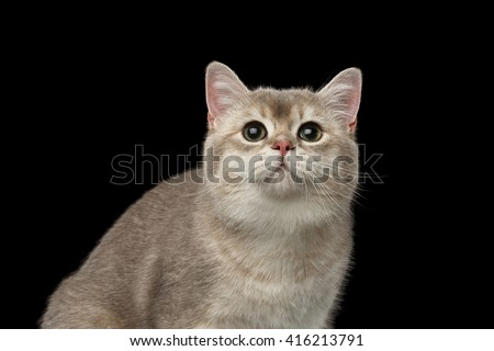 Closeup Portrait of Adorable British Cat with green eyes Looking up isolated on Black Background  - stock photo