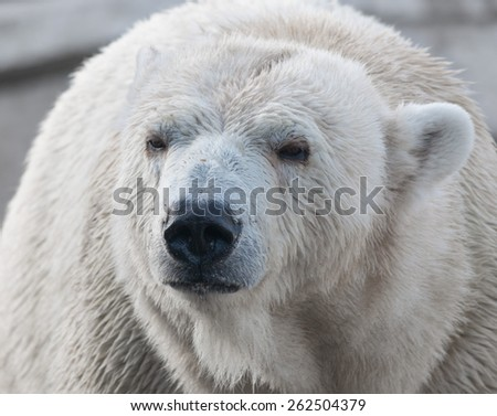 Closeup portrait of an old polar bear, an endangered species from the Arctic - stock photo