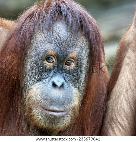 Closeup portrait of an orangutan female. Eye to eye contact. Wild beauty of a human-like monkey. Expressive face of a great ape. - stock photo