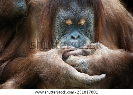 Closeup portrait of an orangutan female is looking at something on her lips. Facial care in wildlife. Wild beauty of a human-like monkey. Expressive face of a great ape. - stock photo
