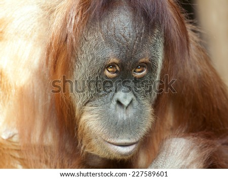 Closeup portrait of an orangutan female. Wild beauty of a human-like monkey. Expressive face of a great ape. - stock photo