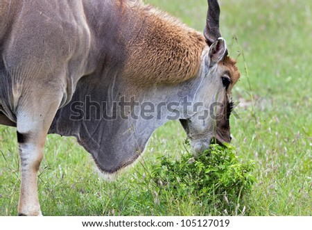 Closeup portrait of antelopes on the Masai Mara National Reserve - Kenya