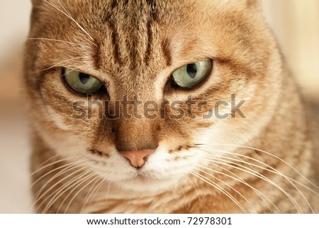 Closeup portrait of attractive cat and focus on eyes. - stock photo