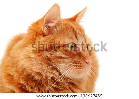 Closeup portrait of beautiful big red cat lying and posing at studio, white background - stock photo