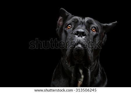 Closeup portrait of beautiful black Cane Corso female dog. Pure breed. Studio shot over black background. Copy space. - stock photo