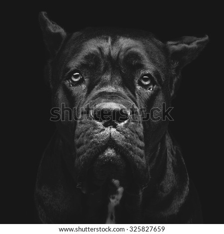 Closeup portrait of beautiful black Cane Corso female dog. Pure breed. Studio shot over black background. Square composition. - stock photo