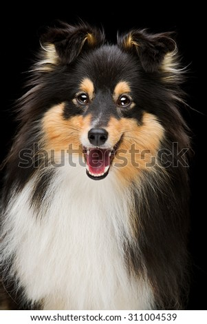 Closeup portrait of beautiful smiling pure breeded Shetland Sheepdog. Studio shot over black background - stock photo