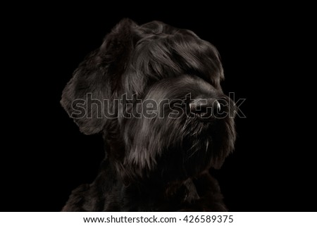 Closeup Portrait of Big Russian Black Terrier Dog Looking in Camera on Isolated Background, Front view - stock photo