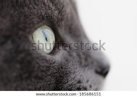 closeup portrait of british shorthair cat, vintage toned - stock photo