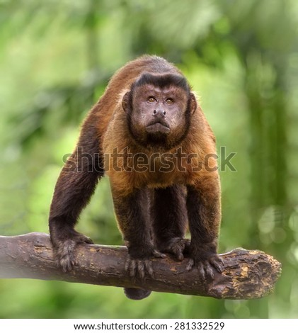 Closeup portrait of brown capuchin monkey standing on a tree branch - stock photo