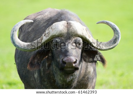 Closeup portrait of buffalo in Ngorongoro crater area in Tanzania