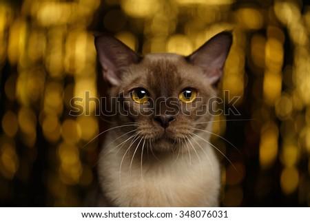 Closeup portrait of Burmese Cat on happy new year background - stock photo