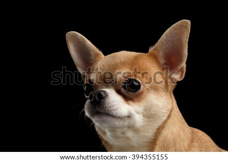 Closeup Portrait of Chihuahua dog Looking outside isolated on Black background