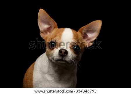 Closeup Portrait of Chihuahua Dog on black background