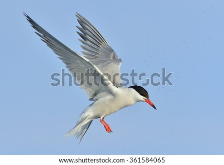 Closeup Portrait of Common Tern (Sterna hirundo). Adult common tern in flight on the blue sky background. Blue Sky background - stock photo
