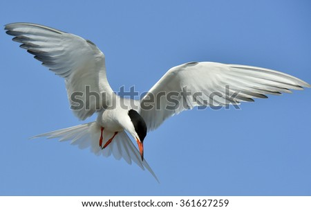 Closeup Portrait of Common Tern (Sterna hirundo). Adult common tern in flight on the blue sky background. Blue Sky background