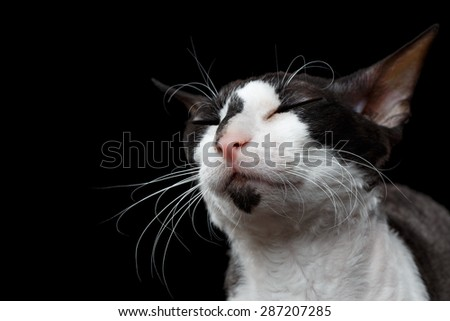 Closeup Portrait of Cornish Rex with closed Eyes Isolated on Black Background - stock photo